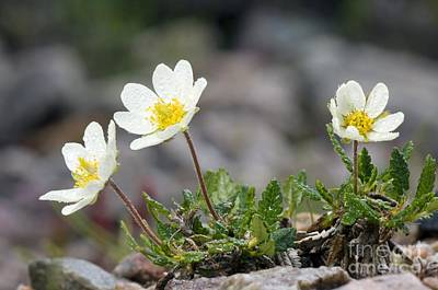Mountain Avens Dryas Octopetala Poster by Duncan Shaw