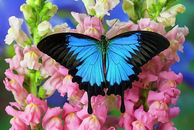 Mountain Blue Swallowtail Of Australia Poster by Darrell Gulin