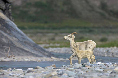 Mountain Goats Along Kongakut River Poster