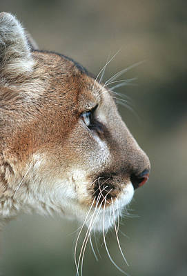 Mountain Lion (felis Concolor Poster by Richard and Susan Day