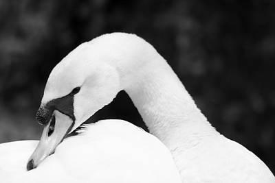 Mute Swan Black White Poster