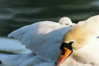 Mute Swan (cygnus Olor Poster by Martin Zwick