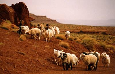 Navajo Sheep Poster