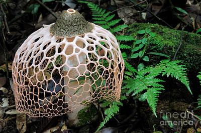 Netted Stinkhorn Fungus Poster by Fletcher & Baylis