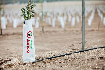 Newly Planted Olive Tree Grove Poster