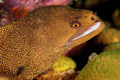 Night Dive Photograph Of Goldentail Eel Poster by James White