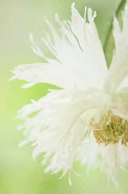 Nodding White Peony Poppy Poster by Maria Mosolova