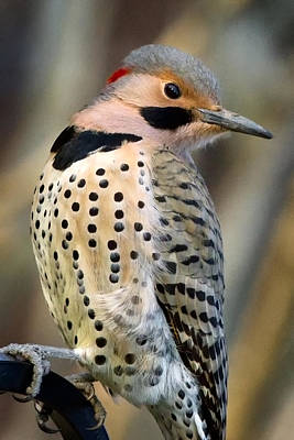 Northern Flicker Poster by Bill Wakeley