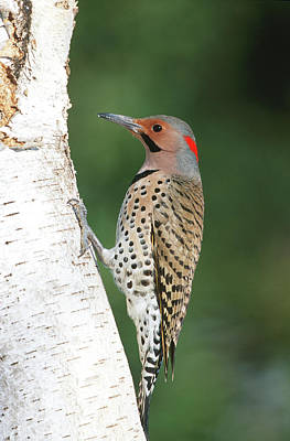 Northern Flicker (colaptes Auratus Poster by Richard and Susan Day
