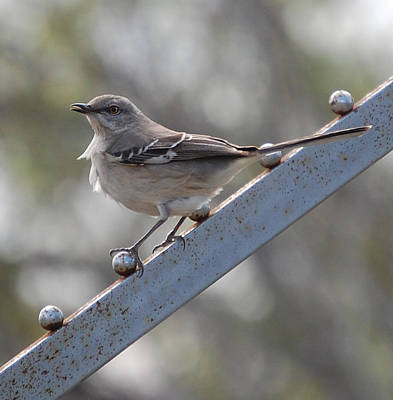 Poster featuring the photograph Northern Mockingbird 2 by Leticia Latocki