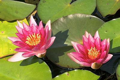 Nymphaea 'weymouth Red' Poster