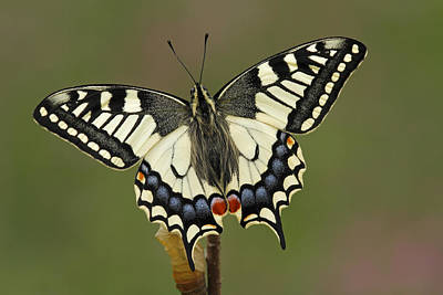 Oldworld Swallowtail Butterfly Poster