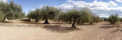 Olive Grove, Vinaros, Province Poster by Panoramic Images