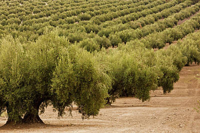 Olive Trees In A Field, Jaen, Jaen Poster