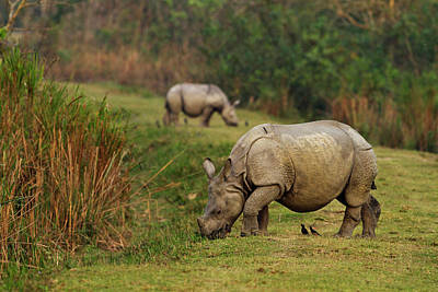 One-horned Rhinoceros Feeding Poster by Jagdeep Rajput