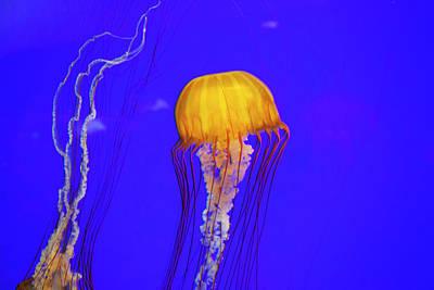 Or, Newport, Oregon Coast Aquarium Poster