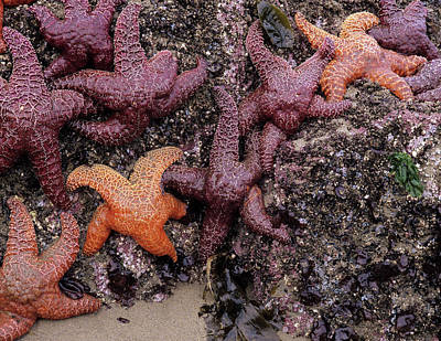 Or, Oregon Coast, Bandon, Ochre Sea Poster