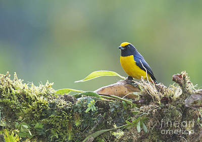 Orange-bellied Euphonia Poster