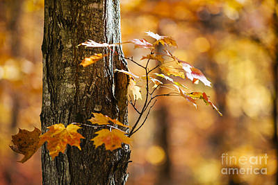 Orange Fall Maple Poster by Elena Elisseeva