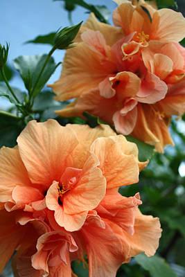 Orange Hibiscus Pair Poster by Karen Nicholson