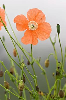 Orange Poppy (papaver Fugax) In Flower Poster