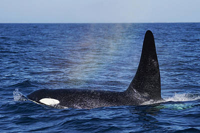 Orca Surfacing Hokkaido Japan Poster by Hiroya Minakuchi