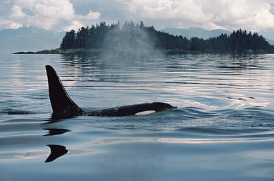 Orca Surfacing Johnstone Strait Bc Poster by Flip Nicklin