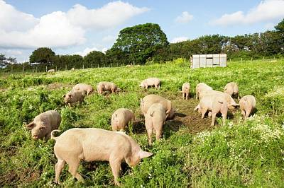 Organic Middle White Pigs Poster by Ashley Cooper