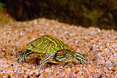 Ornate Red Ear Turtle, Chrysemys Poster by David Northcott