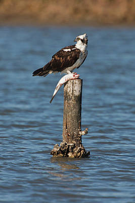 Osprey (pandion Haliaetus Poster by Larry Ditto