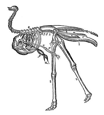Ostrich, 16th Century Poster