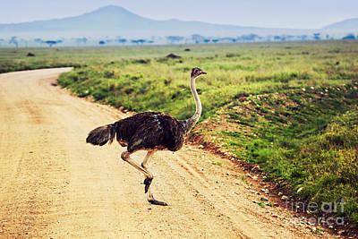 Ostrich On Savanna. Safari In Tanzania. Poster by Michal Bednarek