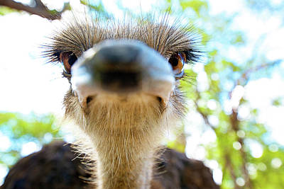 Ostrich Struthio Camelus Australis Poster by Shannon Benson