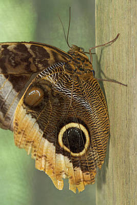 Owl-eye Butterfly (caligo Poster by William Sutton