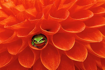 Pacific Chorus Frog In Dahlia Poster
