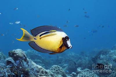 Pacific Mimic Surgeonfish Poster by Georgette Douwma