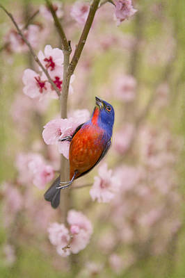 Painted Bunting In Spring Poster