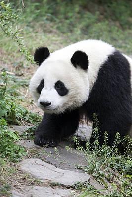 Panda Poster by King Wu