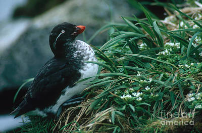 Parakeet Auklet Poster by Art Wolfe