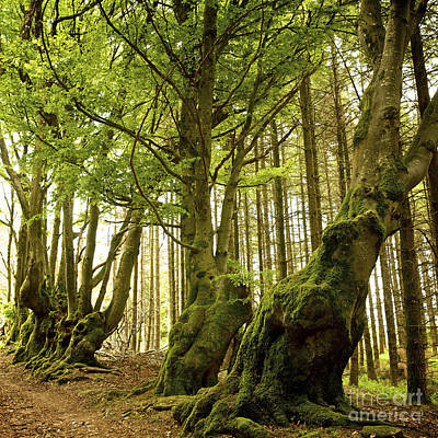 Path Lined Whit Old Beeches. Allier. Auvergne. France Poster