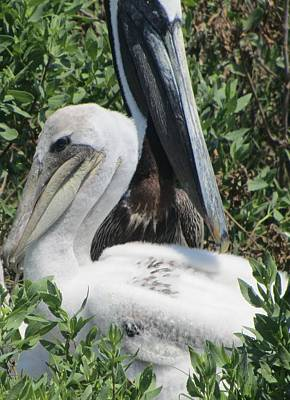 Poster featuring the photograph Pelicans Of Beacon Island 2 by Cathy Lindsey