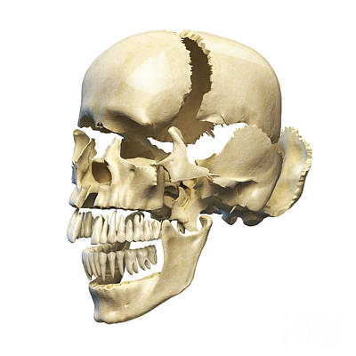 Perspective View Of Human Skull Poster