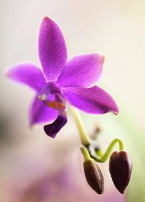 Phalaenopsis Orchid Flower Poster by Maria Mosolova