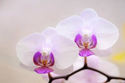Phalaenopsis Orchid Flowers Poster by Maria Mosolova