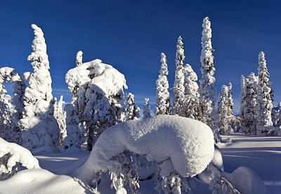 Pine Forest After Heavy Snowfall Poster by Science Photo Library