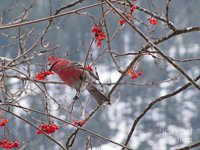 Pine Grosbeak And Mountain Ash Poster