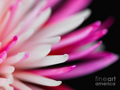Pink Chrysanthemum Flower Isolated On Black Background. Macro  Poster