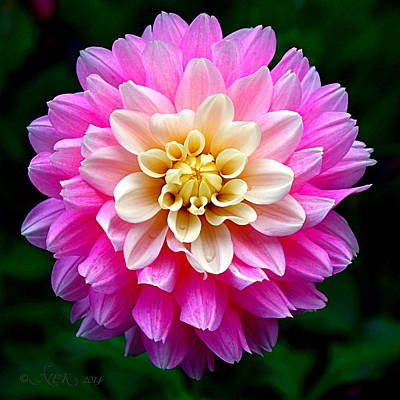 Pink Dahlia Poster by Nick Kloepping