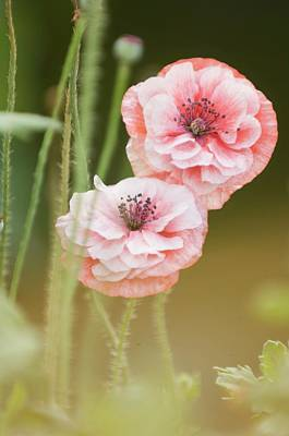Pink Double Shirley Poppies Poster by Maria Mosolova