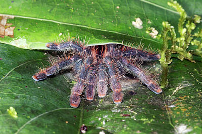 Pink Toed Tarantula Poster by Dr Morley Read